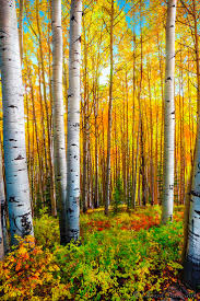 848 best frames trees images on pinterest landscapes painting golden aspen trees at kebler pass colorado