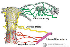 Female Abdominal Anatomy Pictures The Uterus Structure Location Vasculature Teachmeanatomy