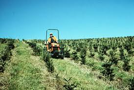 tree crops for marginal farmland christmas trees vce