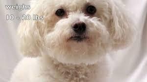 bichon frise dog pictures dogs 101 bichon frise youtube