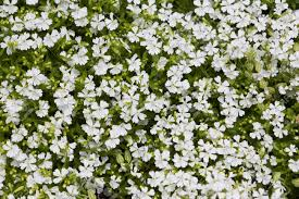 small white flowers herbal background small white flowers on green lawn stock