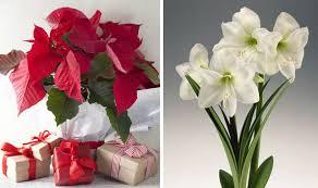 Christmas Plants Poinsettias And Amaryllis Are Christmas Plant Favourites For Tv