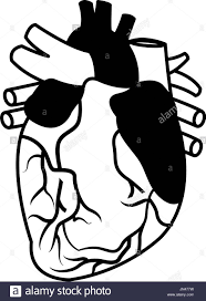 human heart black and white stock photos u0026 images alamy