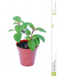 small potted plant isolated on white stock photo image 10810350