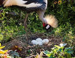 grey crowned crane taking care of her eggs bruno mesmin flickr