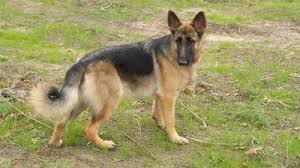 Light Sable German Shepherd Vhr German Shepherds Vhr Ranch German Shepherds And Ranch