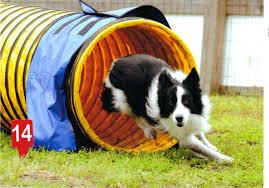 afghan hound agility dog agility training in myrtle beach sc murrells inlet u0027s only dog