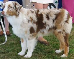 australian shepherd herding sheep follow the piper australian shepherd dogs