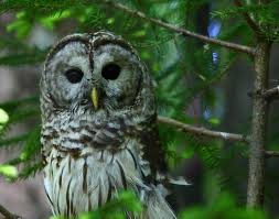 file barred owl wildlife 42 west virginia forestwander jpg