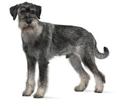 schnauzer hair cut step by step pet grooming products tips wahlpets com care for my dog