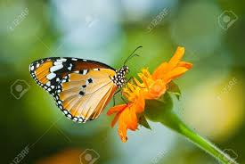 butterfly of thailand stock photos royalty free butterfly of
