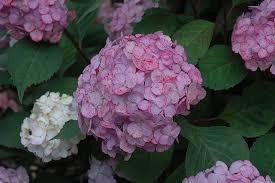 pink hydrangea pink beauty hydrangea hydrangea macrophylla pink beauty in
