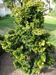 evergreen trees shrubs a guide to landscape design maintenance