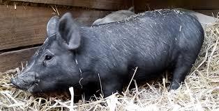 pigs down south farm