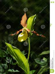 lady u0027s slipper orchid flower yellow with red petals blooming