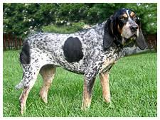 bluetick coonhound exercise bluetick coonhound dog breed