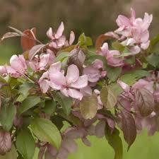 Profusion Flowering Crabapple - indian magic crabapple trees naturehills com