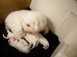 bichon frise dog breeders beautiful bichon frise puppies for sale bichon frise puppy