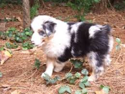 australian shepherd indiana australian shepherd puppies in georgia