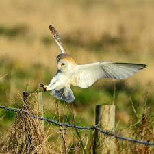 Where Do Barn Owls Live 21 Facts On Barn Owl Tweetapedia Living With Birds