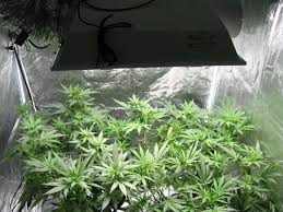 hardest plant to grow how to grow cannabis in 10 steps grow weed easy