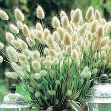 bunny tails ornamental grass grasses bunny and plants