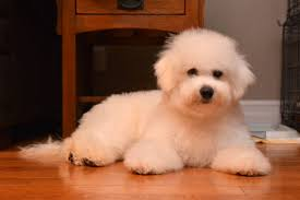 bichon frise puppy 8 weeks bichon frise information and bichon frise puppies and dogs for sale