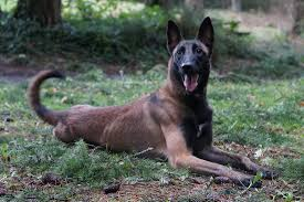 belgian shepherd hunting dog adoptions and sales brightstar canine llc