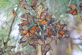 Monarch Migration Map Monarch Alabama Butterfly Atlas