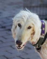 afghan hound puppies california adopted dogs afghan hound rescue