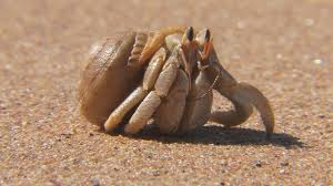 everything you know about the hermit crab is wrong