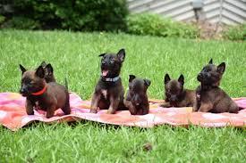 belgian shepherd el paso belgian malinois puppies