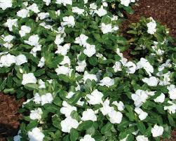 Vinca Flowers White Titan Series Vinca Plants Urban Farmer