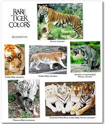 i spy animals golden tabby tigers