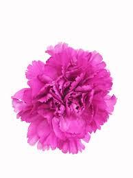 purple carnations purple carnations in bulk metropolitan wholesale nj nyc