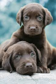 cute puppies 2 wallpapers 2402 best lab love 2 images on pinterest chocolate labs