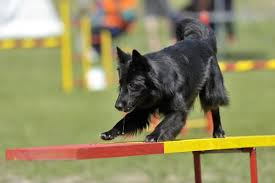 belgian sheepdog facts do you know numerous types of strong and sturdy shepherd dogs