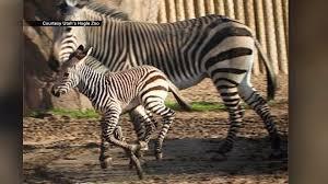 Zoo Lights Utah Hogle Zoo by Hogle Zoo Says Newborn Zebra Loves To Run Bond With Mom