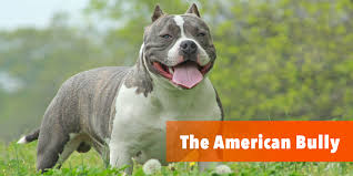 american pitbull terrier qualities what is the american bully here is the bully breed 101