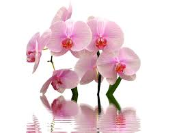 orchid flowers orchid flowers pink free photo on pixabay