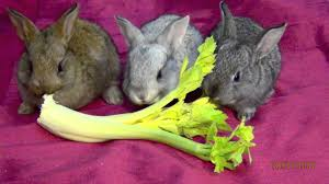 my cute pet baby bunnies eating lettuce funny bunny rabbits