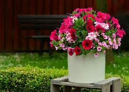 petunia flowers growing petunias in containers petunia care tips balcony