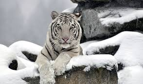 the existence of the white siberian tiger has not been