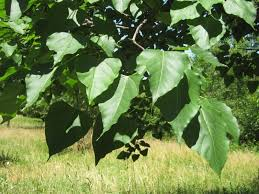 Tree With Little White Flowers - umbrella catalpa 25 count a diminutive unassuming and