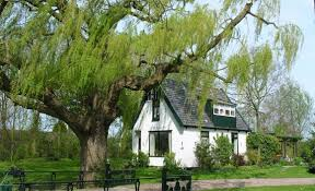 weeping willow tree a mighty fast grower