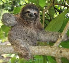 sloth facts animal facts encyclopedia - 4 Toed Sloth