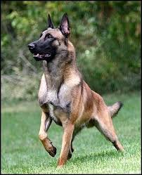 belgian shepherd ears 37 best belgian shepherd images on pinterest german shepherds