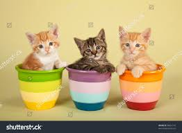 moggie kittens inside colorful striped pots stock photo 98661710
