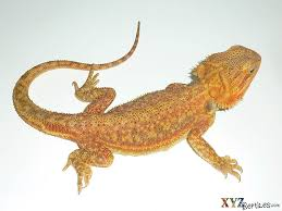 colorful phases bearded dragon origins