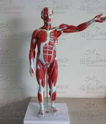 Anatomy Of Body Muscles Online Get Cheap Muscle Model Anatomy Aliexpress Com Alibaba Group